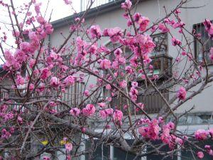 山桜?よくわかりません。