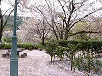20050411SAKURA.jpg