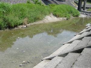 雨不足で石手川の魚が死んでしまった。