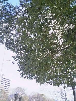 【画像】公園の木「枝葉」