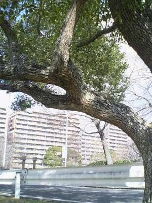 【画像】公園の木「枝幹」
