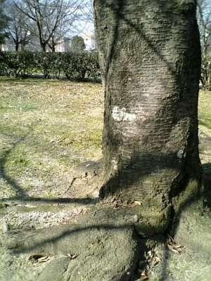 【画像】公園の木「木皮」