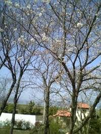 重信川の桜