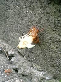 【セミ】幼虫から成虫に脱皮するところ